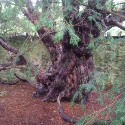 Fortingall Yew 5,000 yr old tree, Scotland 2016